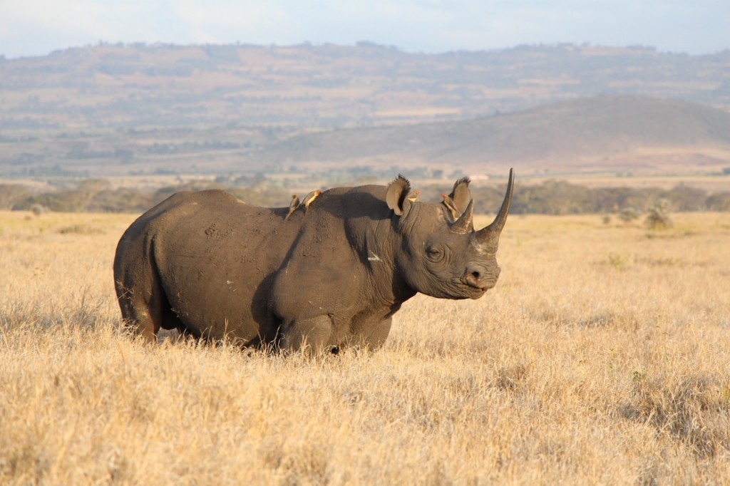A Black Rhino on Lewa.