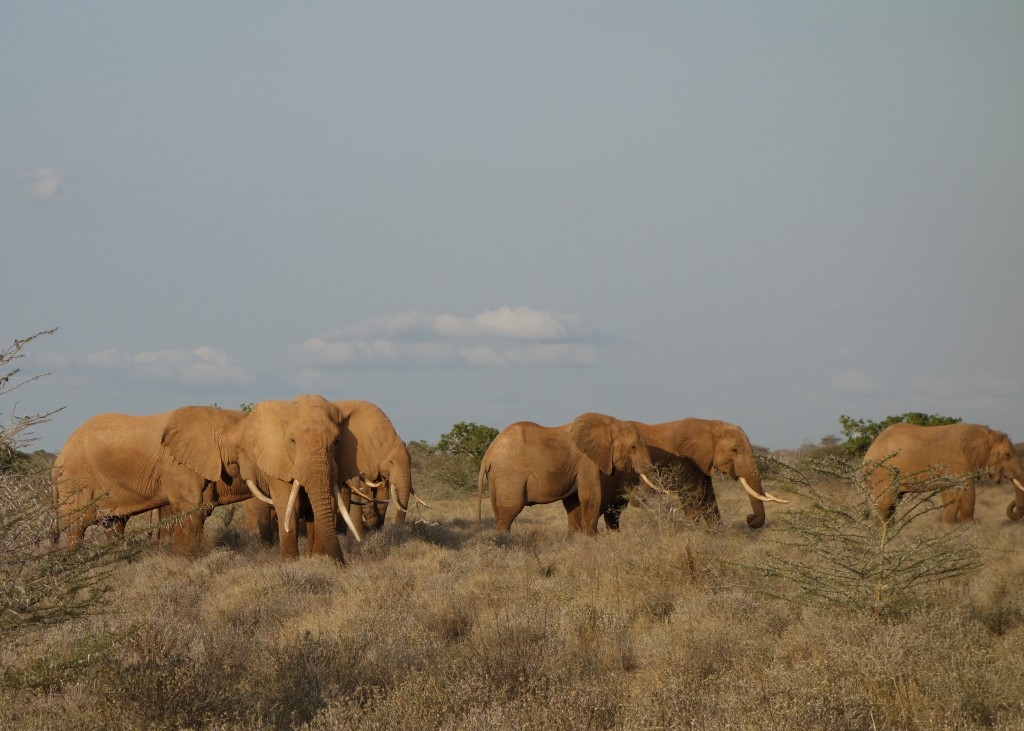 Big tuskers outside of Tsavo East National Park